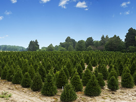 Hertfordshire Christmas tree farm